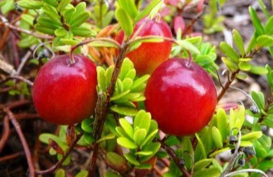 cranberry gegen harnwegsinfekte phytodoc. Black Bedroom Furniture Sets. Home Design Ideas